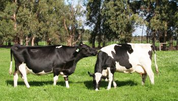 Утилизация крупного рогатого скота